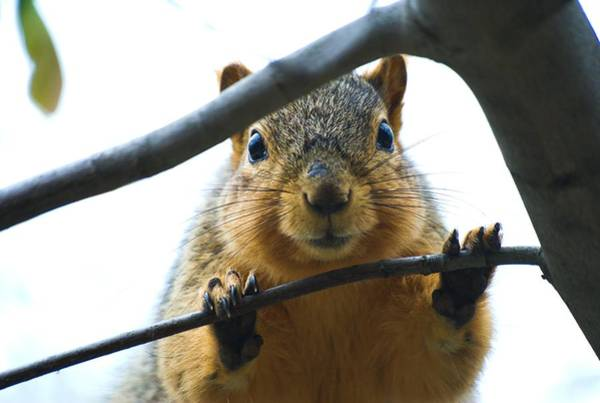 Photograph - Spying Fox Squirrel by Don Northup