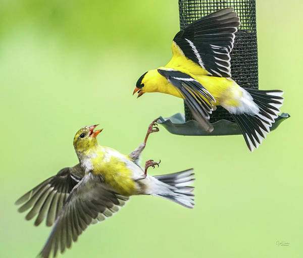 Photograph - Squabble At The Feeder by Judi Dressler
