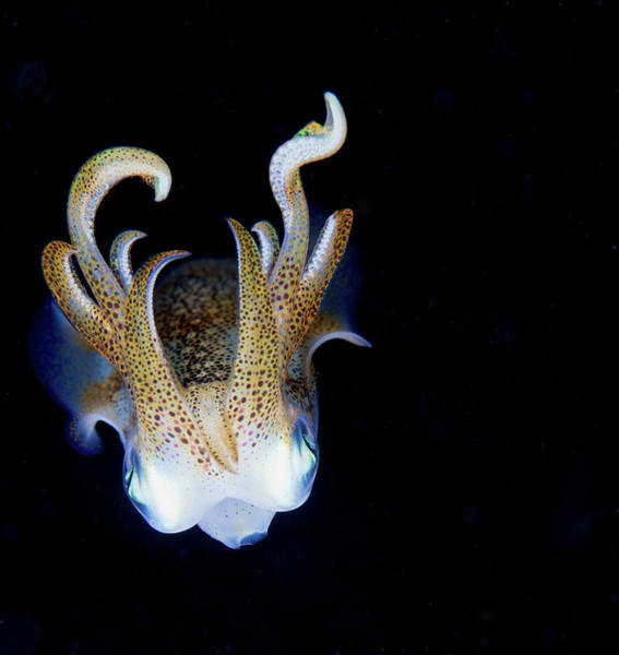 Underwater Photograph - Squid At Night by Nature, Underwater And Art Photos. Www.narchuk.com