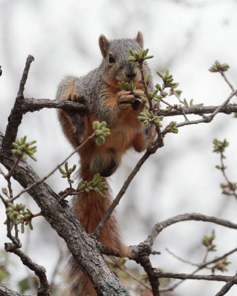 Photograph - Squirrel 6997 by John Moyer