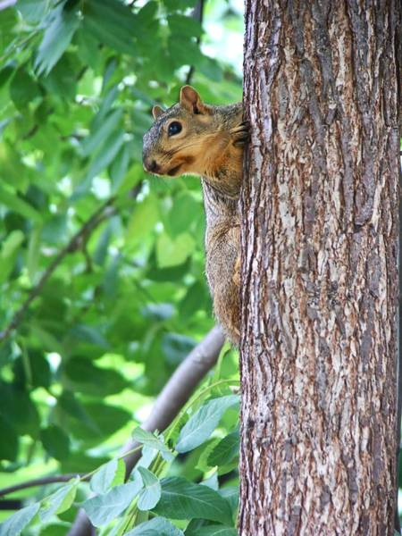 Photograph - Squirrel Climbing A Tree by Don Northup
