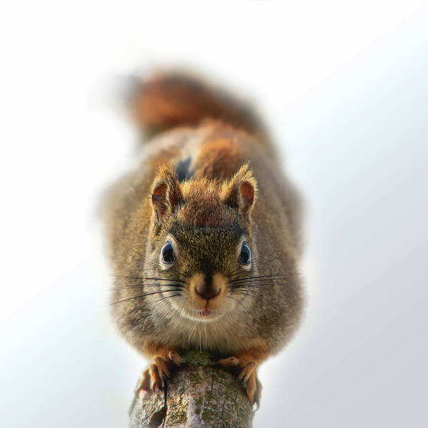 Red Squirrel Wall Art - Photograph - Squirrel Confrontation by Susan Capuano
