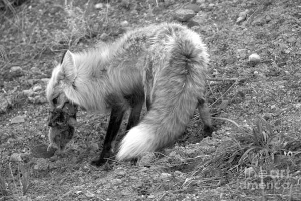 Photograph - Squirrel Dinner For The Red Fox Black And White by Adam Jewell