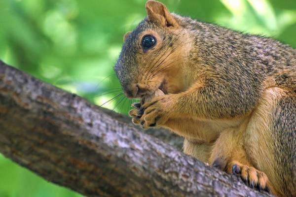 Photograph - Squirrel Eating A Nut In A Tree by Don Northup