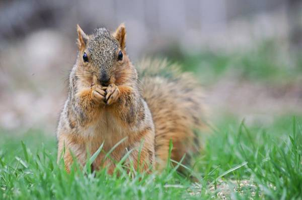 Photograph - Squirrel Eating A Seed by Don Northup