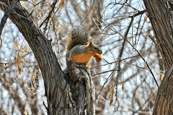 Photograph - Squirrel Eating Bread by Chance Kafka