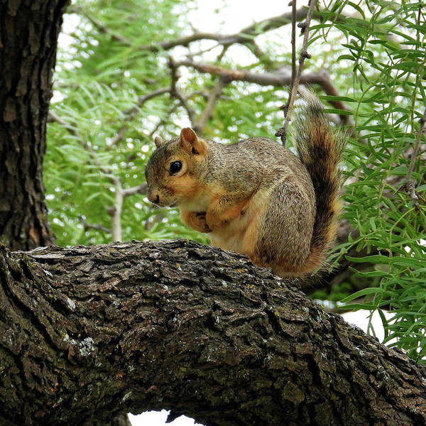 Wall Art - Photograph - Squirrel In A Tree by David G Paul
