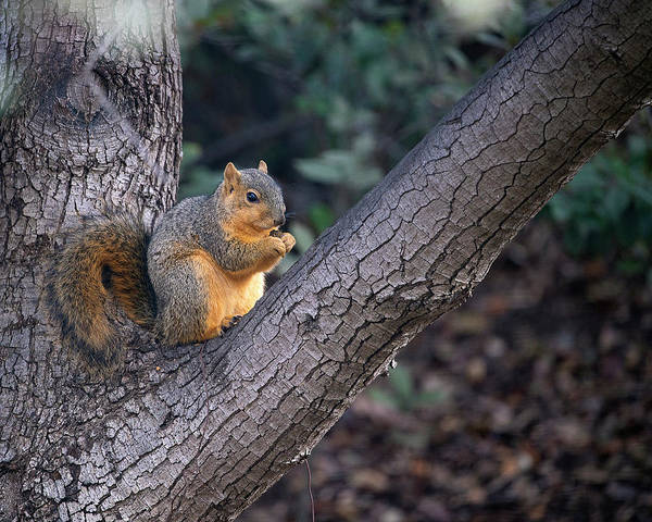 Photograph - Squirrel In Oak Tree by John Rodrigues