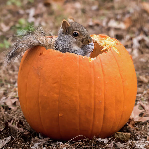 Photograph - Squirrel In Pumpkin Square by Terry DeLuco