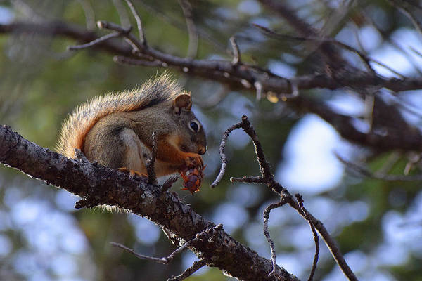 Photograph - Squirrel In The Tree  by Chance Kafka