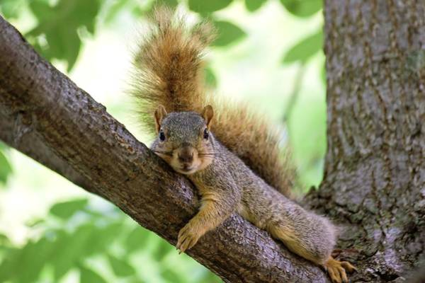 Photograph - Squirrel Laying On Limb by Don Northup