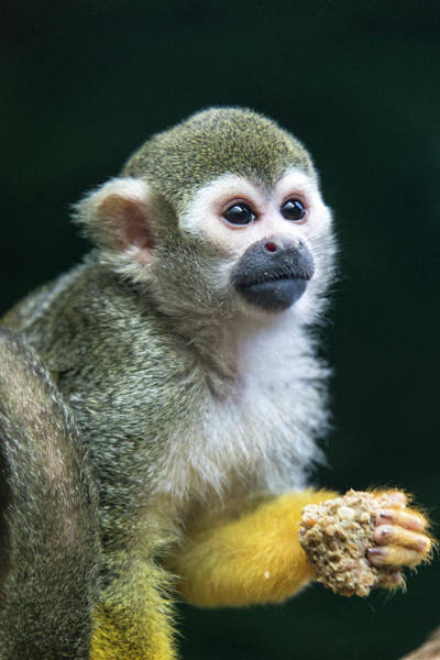 Squirrel Monkey Wall Art - Photograph - Squirrel Monkey by Mark Newman