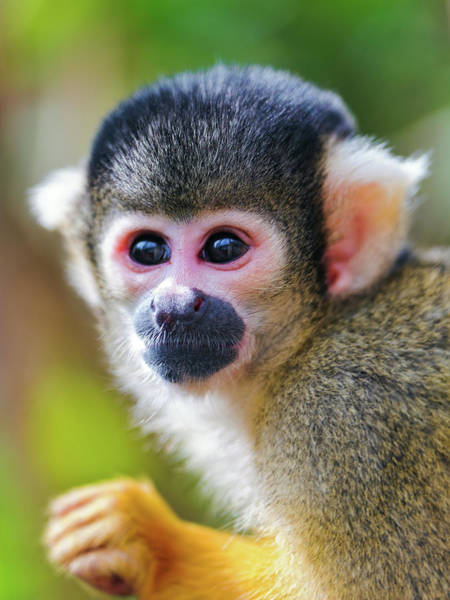 Squirrel Monkey Wall Art - Photograph - Squirrel Monkey by Picture By Tambako The Jaguar