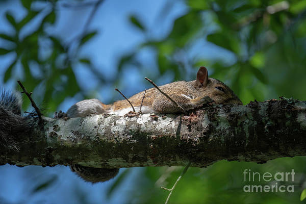 Photograph - Squirrel Napping by Dale Powell