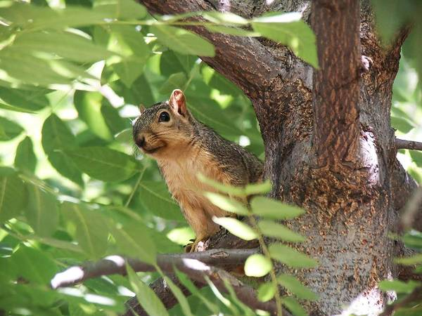 Photograph - Squirrel Perched In A Tree by Don Northup