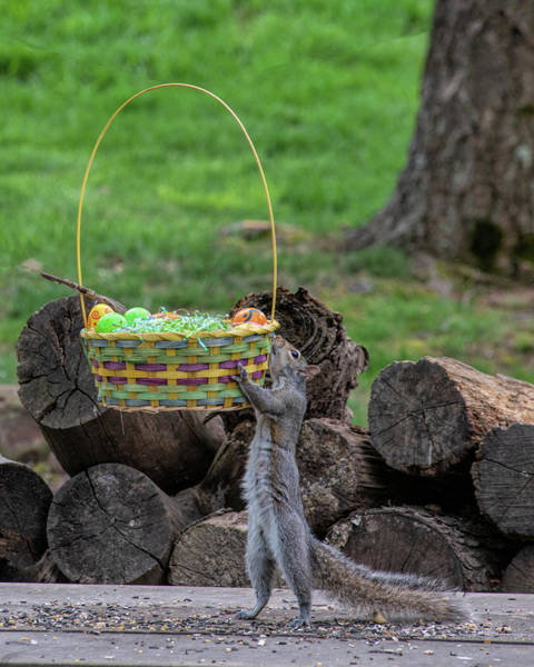 Photograph - Squirrel Showing Off Lifting Easter Basket by Dan Friend