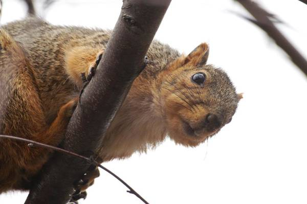 Photograph - Squirrel Underbelly by Don Northup