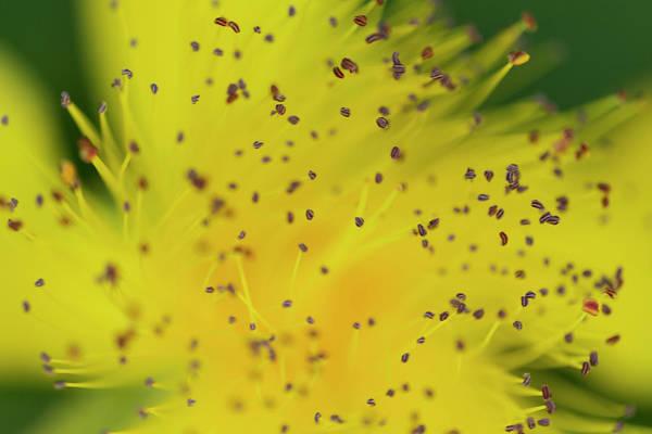 Wall Art - Photograph - St. John's Wort Yellow Flower by Iris Richardson