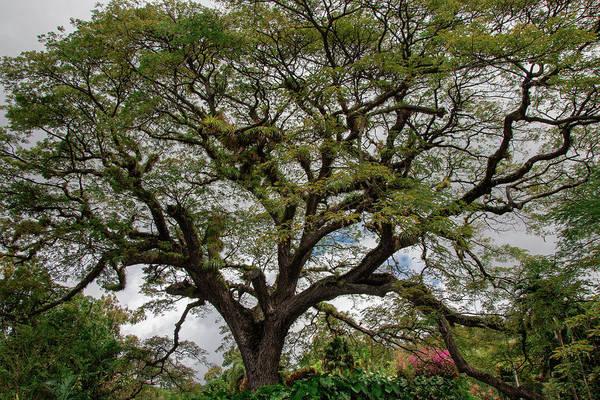 Photograph - St. Kitts Saman Tree by Kristia Adams