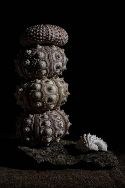 Photograph - Stacked Urchins  by Richard Rizzo