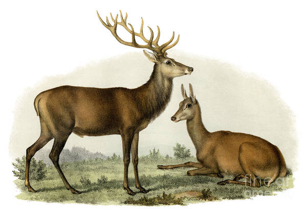Wall Art - Painting - Stag, 1860 by German School