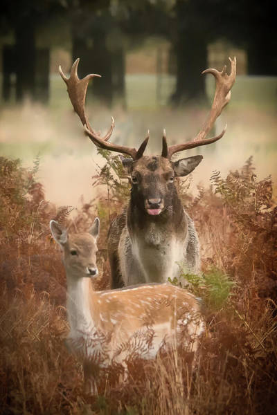 Photograph - Stag And Deer by Chris Boulton