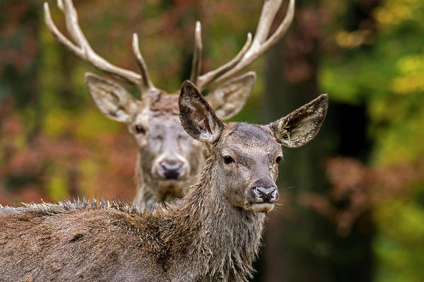 Photograph - Stag And Hind by Arterra Picture Library