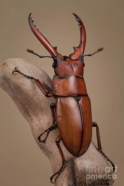 Photograph - Stag Beetle Male by Marco Fischer