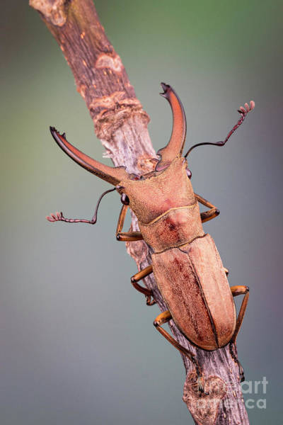 Photograph - Stag Beetle On Twig by Marco Fischer