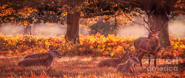 Photograph - Stag Watching Over His Females by Nigel Dudson