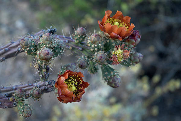 Photograph - Staghorn Cholla Bloom by Chance Kafka