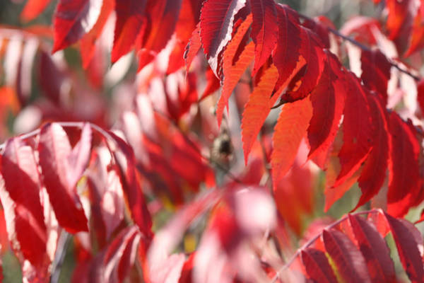 Photograph - Staghorn Sumac Fall Leaves 6418 by Ajp