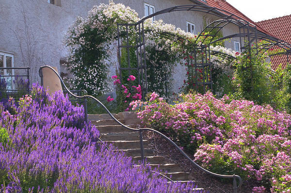 Photograph - Stairs In Rose Garden by Jenny Rainbow