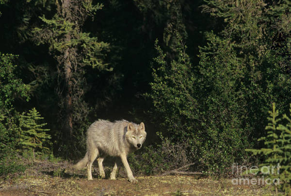 Photograph - Stalking Gray Wolf Northwest Territories Canada by Dave Welling