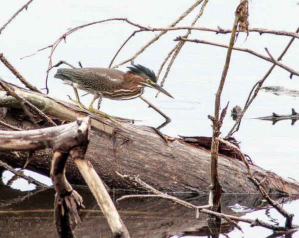 Wall Art - Photograph - Stalking Green Heron by Norman Johnson