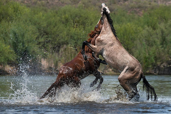 Heber Springs Photograph - Stallion Battle In The American West. by Paul Martin