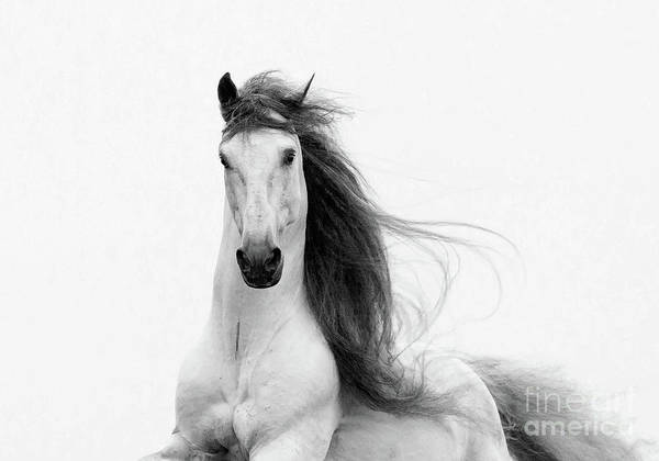 Andalusian Stallion Wall Art - Photograph - Stallion's Glory by Carol Walker