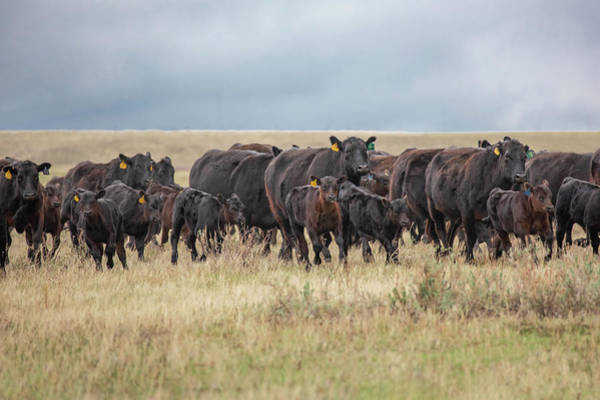 Wall Art - Photograph - Stampede Of Angus by Todd Klassy