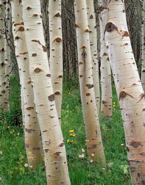 Wall Art - Photograph - Stand Of Quaking Aspen Trees Populus by Ryan/beyer