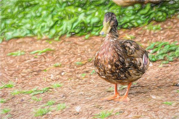 Photograph - Standing Duck Colored Pencil by Don Northup
