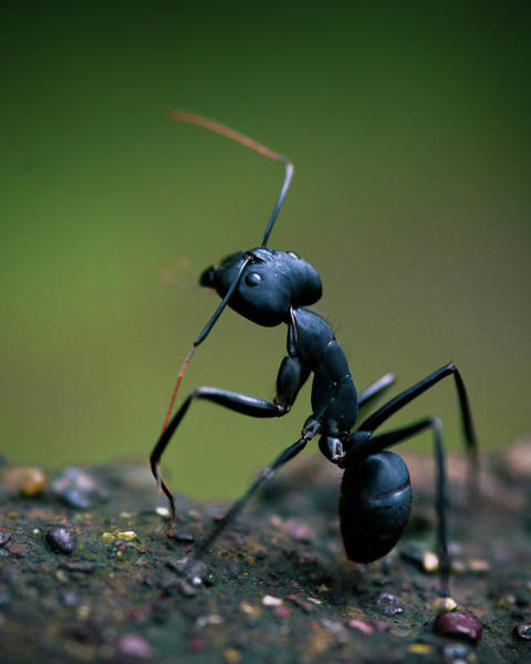 Ant Photograph - Standing Tall by Abhinav Sah