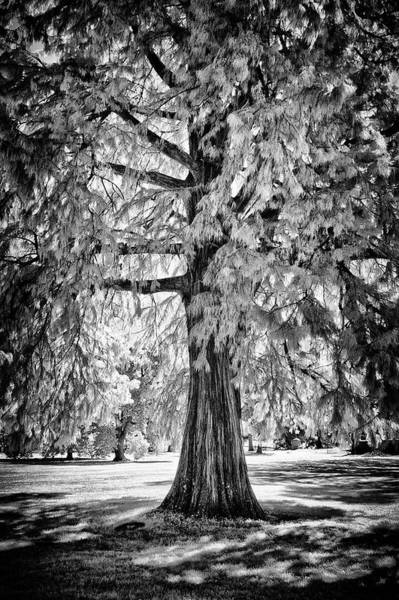 Photograph - Standing Tall Old Tree - I R by Paul W Faust - Impressions of Light