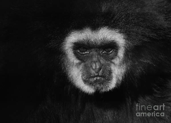 Wall Art - Photograph - Stare Of A Gibbon  by Ruth Jolly