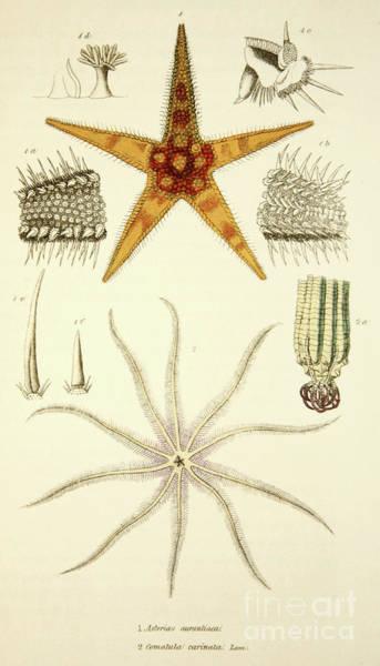 Wall Art - Drawing - Starfish  Asterias Aurantiaca And Comatula Carinata by English School