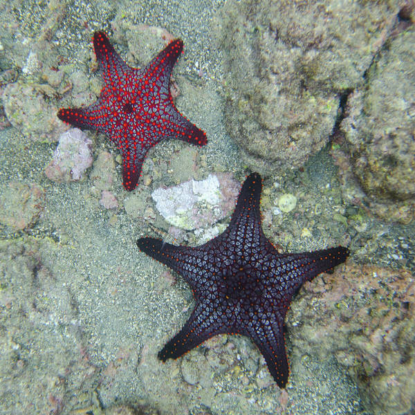 Galapagos Islands Wall Art - Photograph - Starfish Underwater by Keith Levit / Design Pics