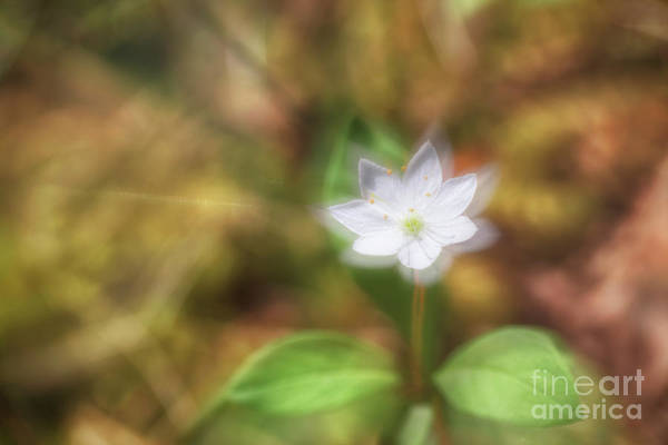 Wall Art - Photograph - Starflower by Veikko Suikkanen