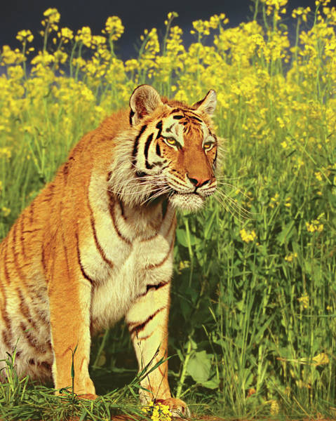 Staring Photograph - Staring Tiger & Yellow Flower by Gary Vestal
