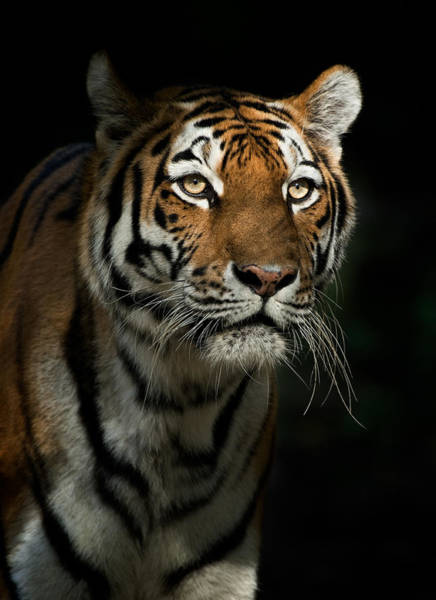 Staring Photograph - Staring Tiger In The Evening by Andyworks