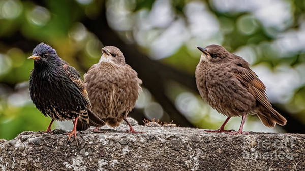 Photograph - Starling Fledgling by Adrian Evans