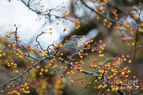 Photograph - Starling by Inge Johnsson